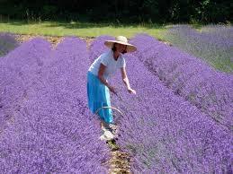 LavenderMaiden
